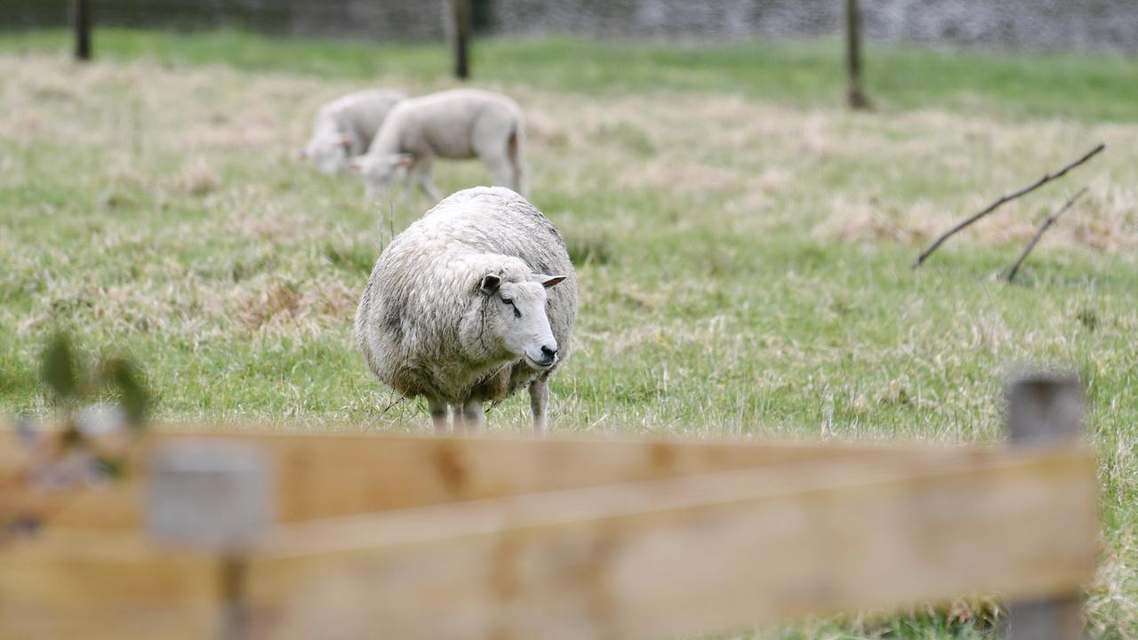 The tale of three wandering sheep has served as a lesson in tolerance, according to one Somerset councillor.