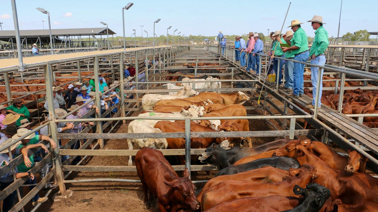ONE SALE: Prime sales at Roma have been temporarily suspended due to low numbers, with all prime cattle now to be sold alongside Tuesday's store sale (Photo: Nutrien Ag Roma team selling a pen of Keddstock steers from Gowrie Station Charleville).