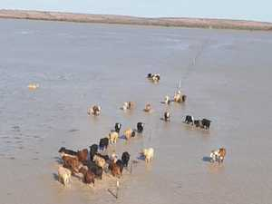 Watch: Cattle marooned in Outback ocean