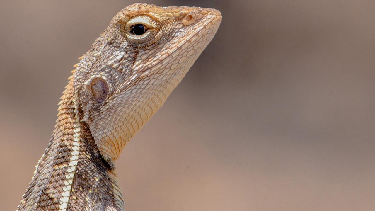 A tiny lizard on the Moulin-Gordon property.