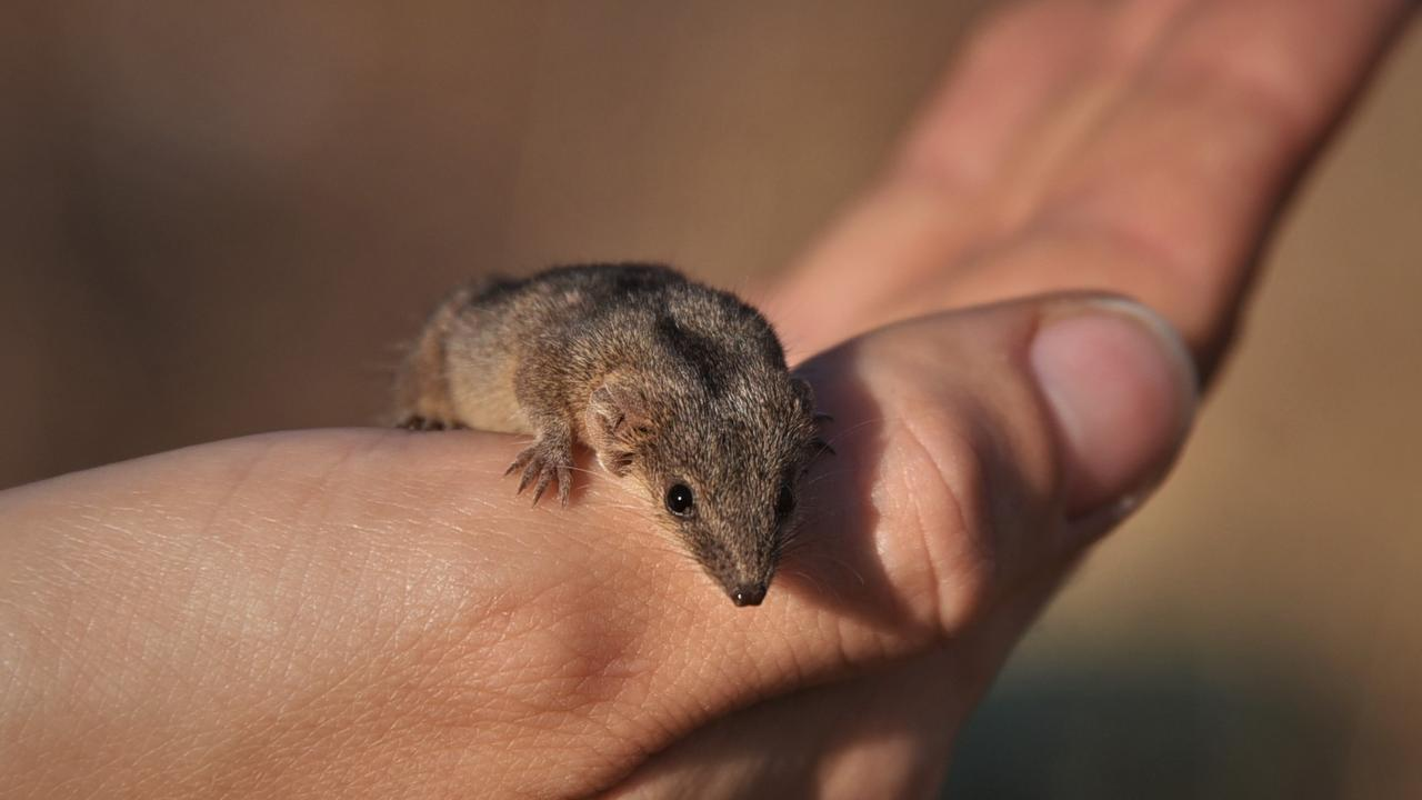 A planigale mouse from North Queensland.