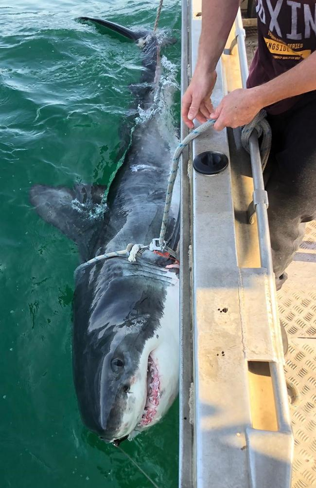 One of the sharks caught and tagged as part of the research program. Picture: NSW Department of Primary Industries
