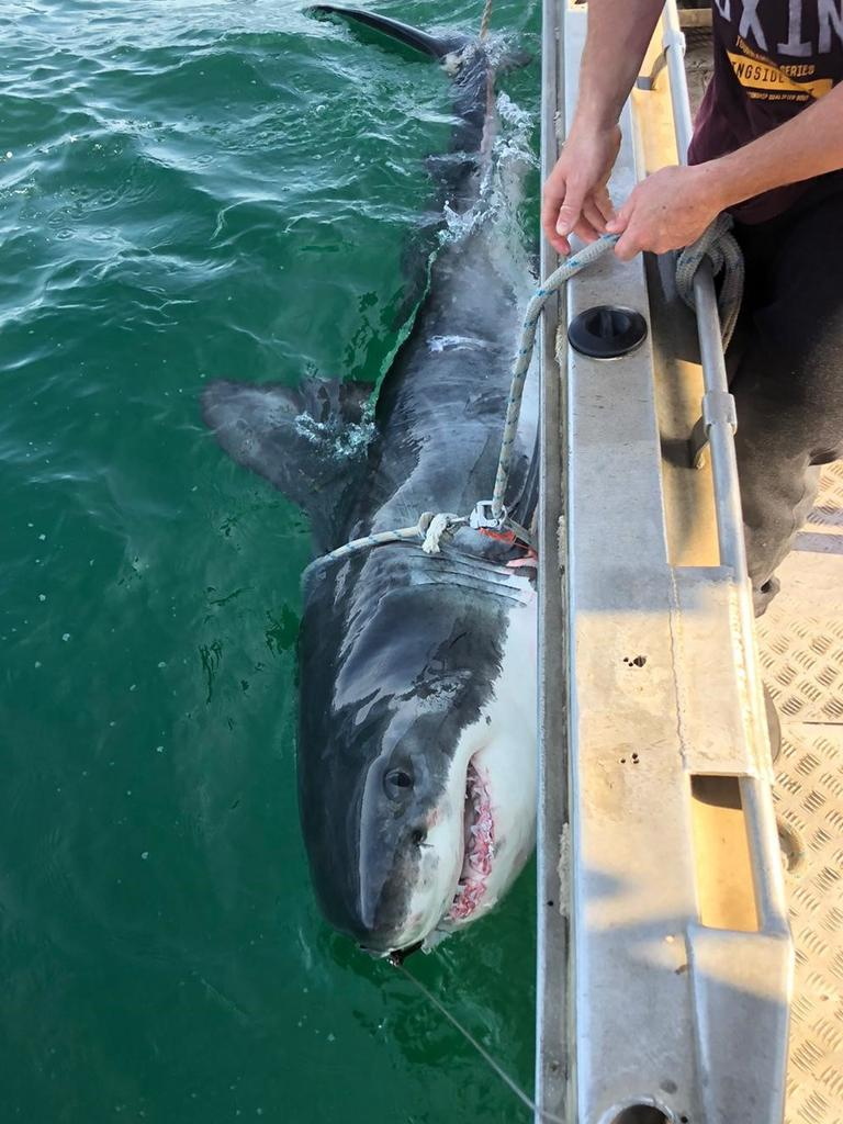A great white shark being tagged and released. Picture: NSW Department of Primary Industries