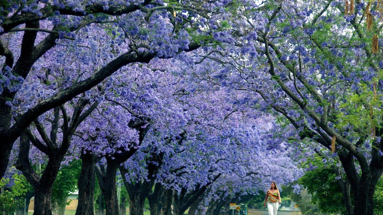 The jacarandas bloom in Bacon Street, Grafton, NSW. Jacaranda tree. Pic Bill Council.