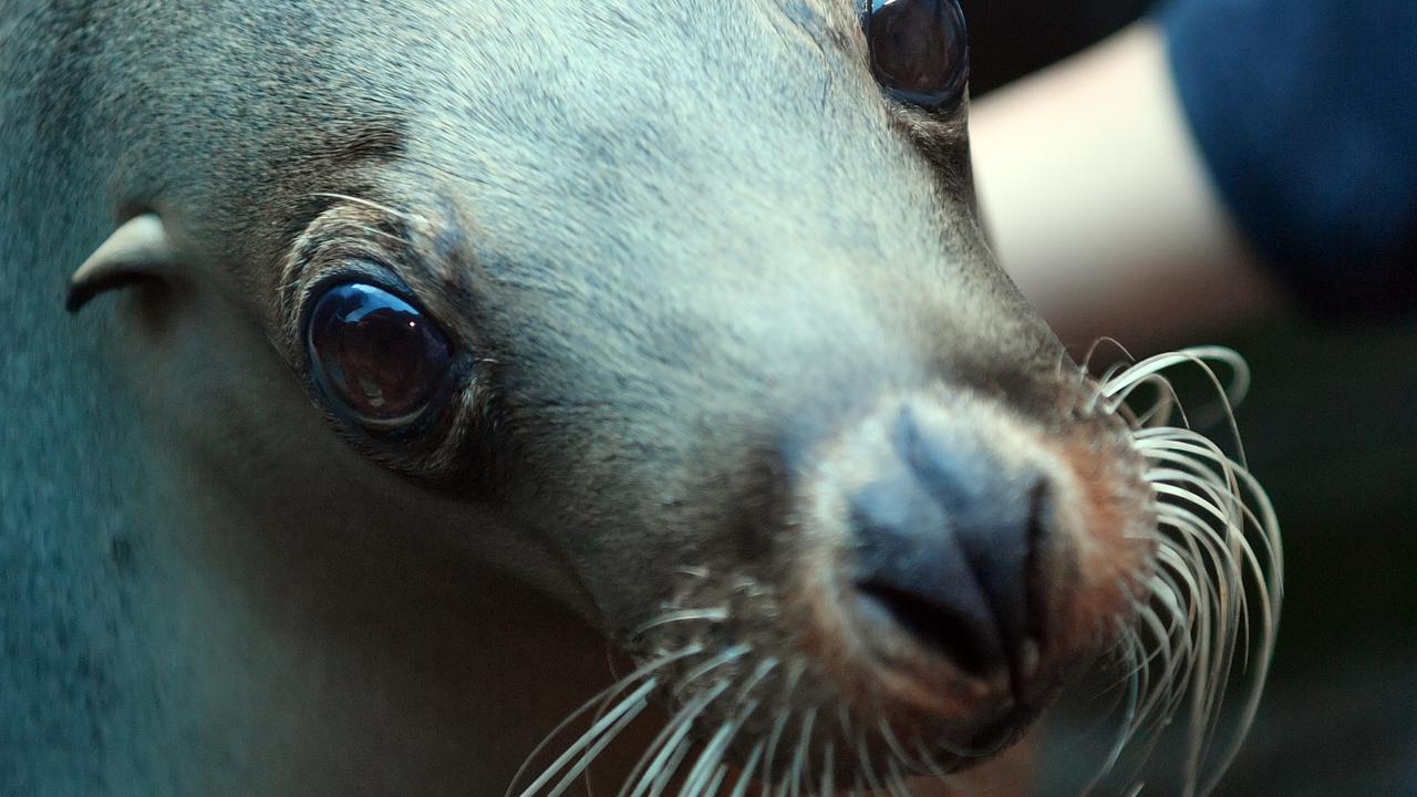 Teiko is a 23-year-old Australian sea lion who calls Sea Life Sunshine Coast home. Photo: John McCutcheon