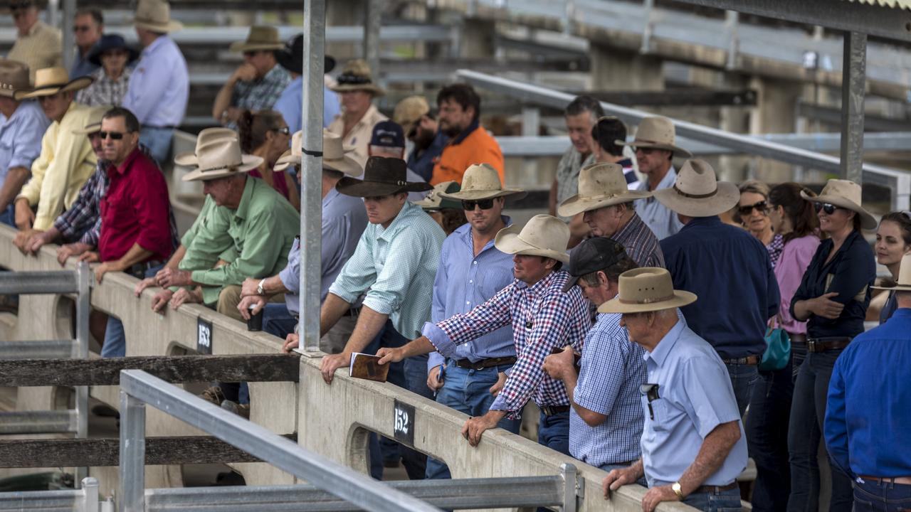 Cattle Auctions at CQLX, Gracemere Queensland. Photo Steve Vitt