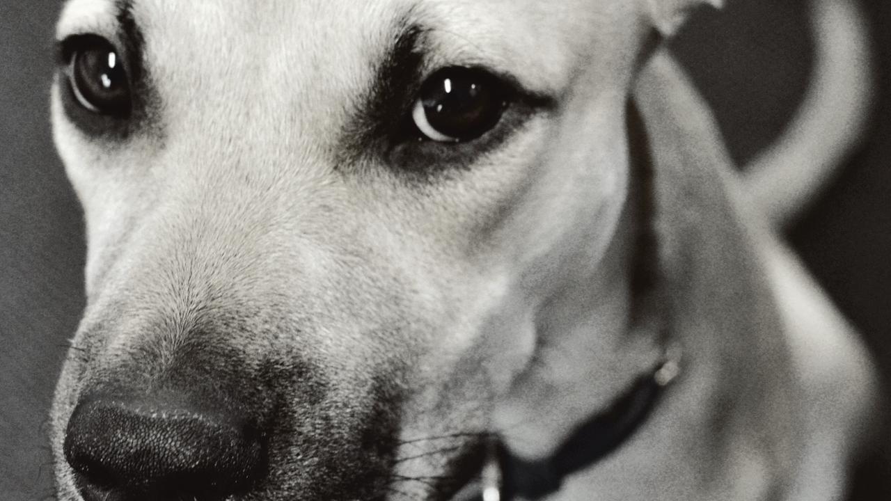 Rosie Kara Belle Vie Animal Rescue dog happy Toowoomba