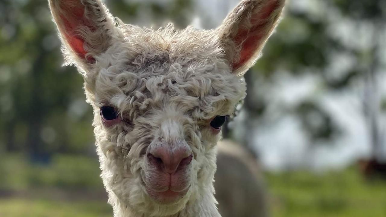LITTA FELLA: Baby Oscar from the Littabella Alpacas farm.