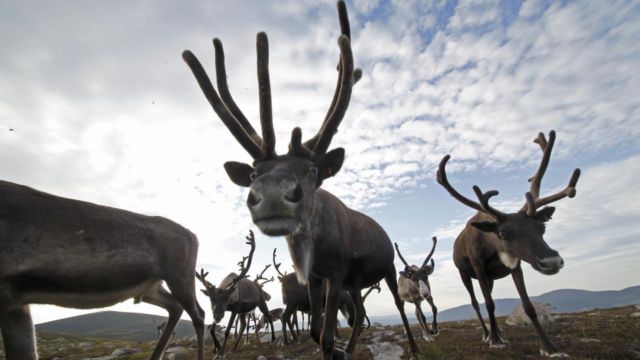 Reindeer in summer at Cairngorm Reindeer Centre, Scotland. Picture: Neil McIntyre