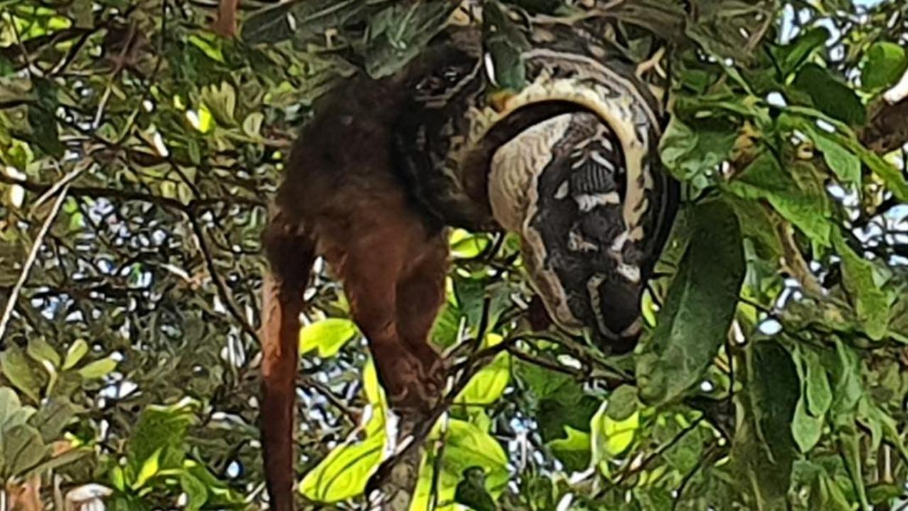 A Coast resident got quite the shock when she saw a snake devouring a possum along Mudjimba Esplanade this morning.