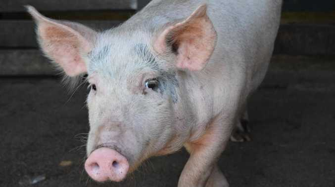 New virus 'would absolutely devastate', say pork producers