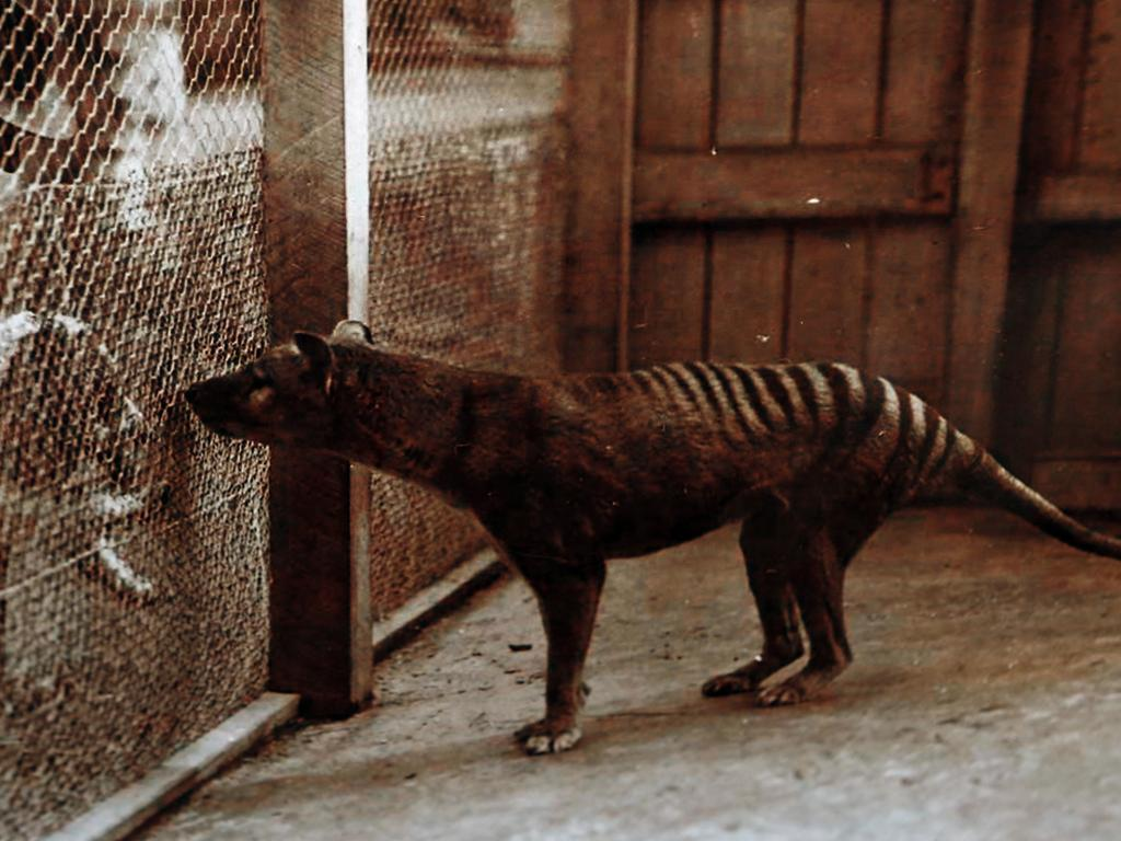 A Tasmanian Tiger at the Hobart Zoo.