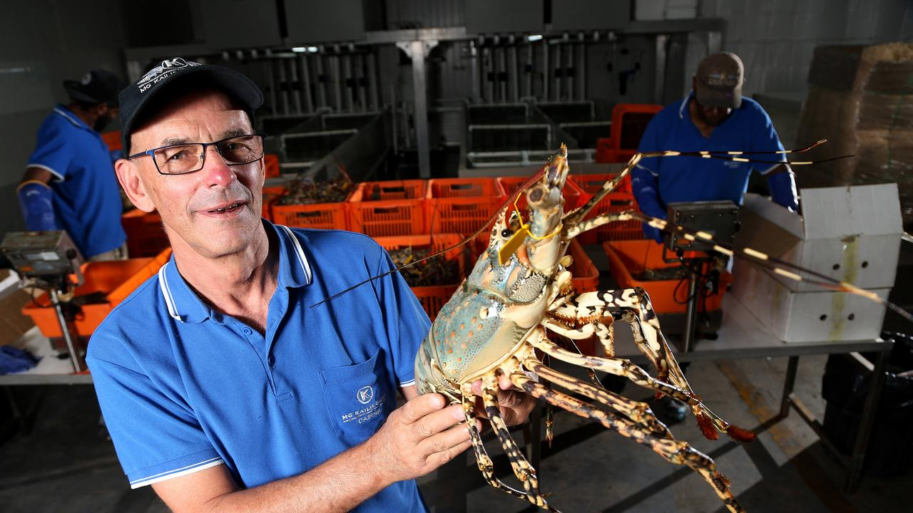 MG Kalis Tropical Rock Lobster general manager Brett Arlidge with tropical rock lobsters. PICTURE: STEWART MCLEAN