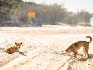 No tourists could mean 'golden age' for dingoes on island