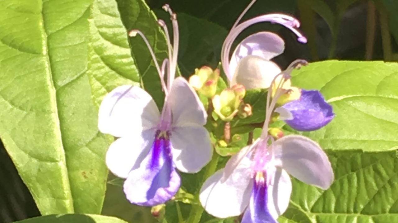 Clerodendrum ugandense.