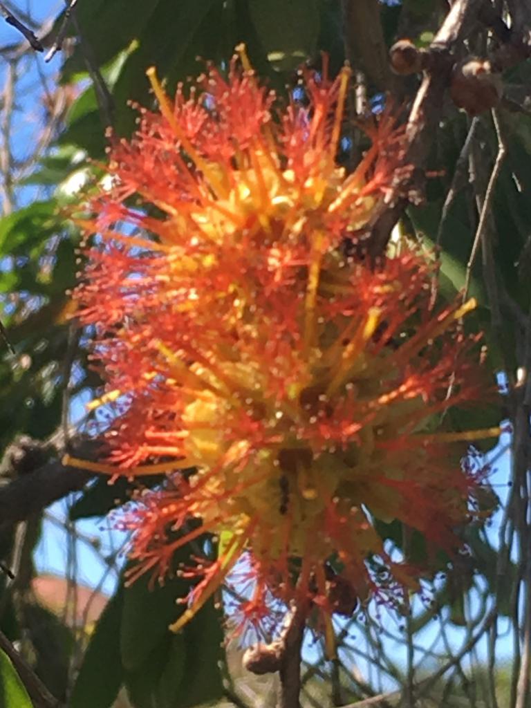 Melaleuca symphyocarpa.