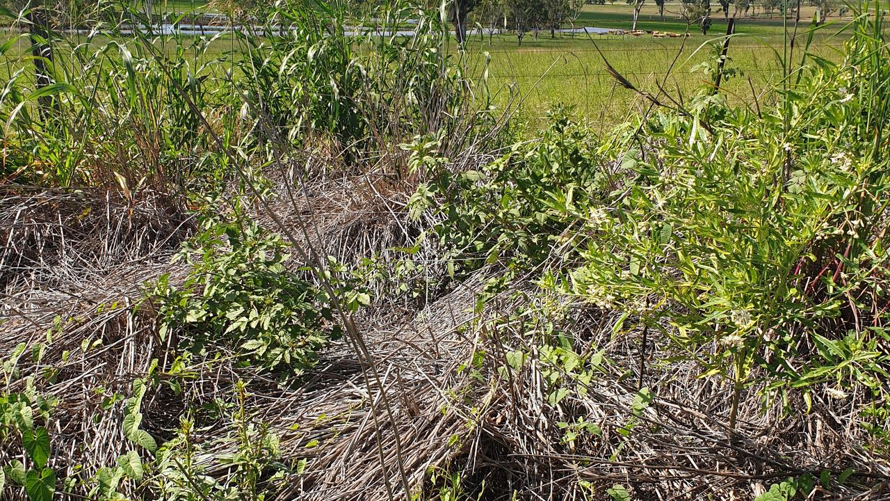 The first NSW case of pasture dieback, which kills sown and native summer-growing grasses, has been identified in Northern NSW.