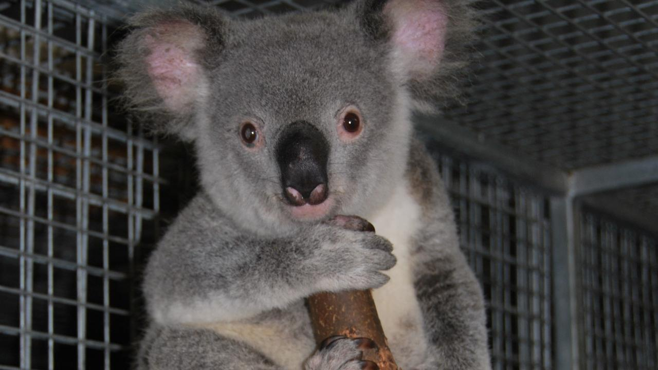 The latest edition will also benefit our region's koala species.