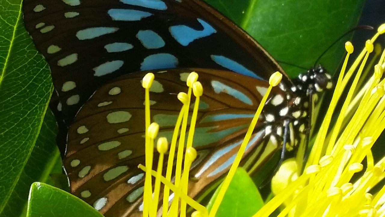 Swarms of blue tiger butterflies have been moving through the Gympie region. Picture: Peter Holt