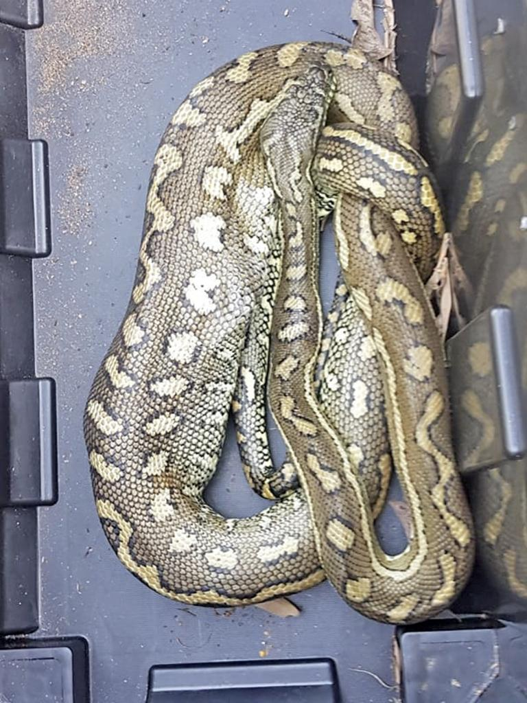 This coastal carpet python was removed from an Ocean Shores property last Sunday after feeding on an unfortunate kitten. Picture: Supplied.