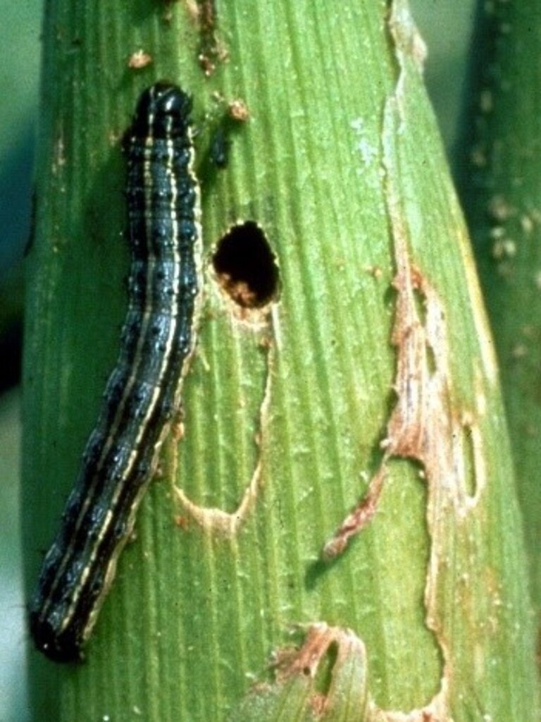 The fall armyworm (also known as spodoptera frugiperda) has been sighted in Bundaberg.