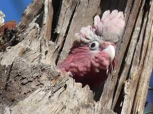 Briggsy's Birds: Vibrant galah renowned as a playful bird