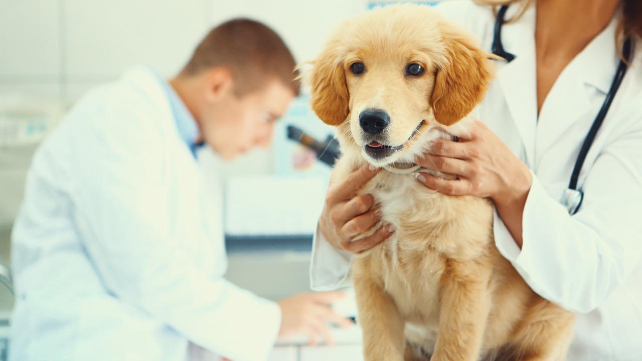 GCS Coomera Waters vet - generic dog at vet