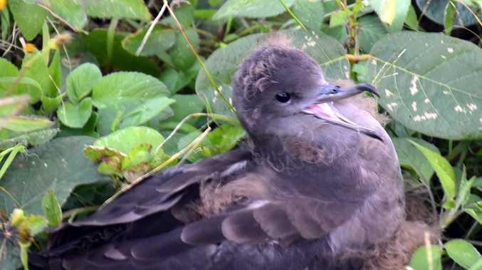 A watchful eye for muttonbirds