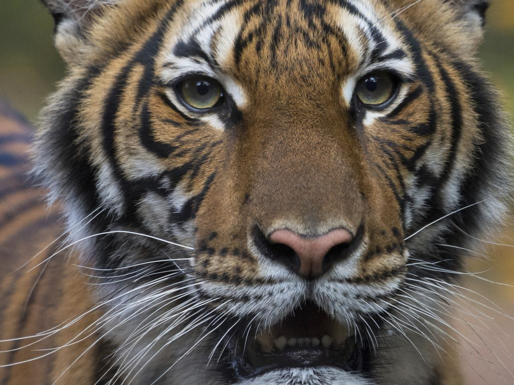 Nadia, a Malayan tiger at the Bronx Zoo in New York, tested positive for the new coronavirus. Picture: Julie Larsen Maher/Wildlife Conservation Society via AP