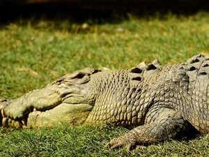 CRIKEY! Croc's snappy visit to Gladstone