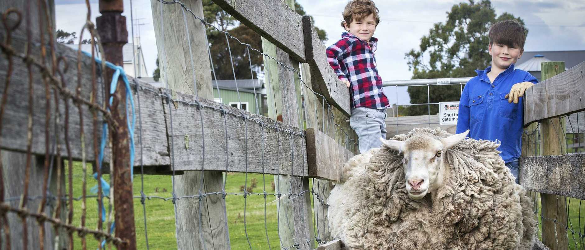 A sheep who fled her flock during the 2013 bushfires has been reunited with family and there are now big plans for her impressive fleece.