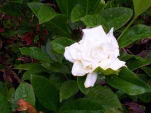 GARDENING: Pefect scents in your garden