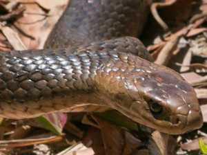Gympie region resident hospitalised after snake bite