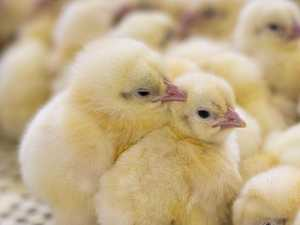 Western Downs sees unlikely boom in chicken sales