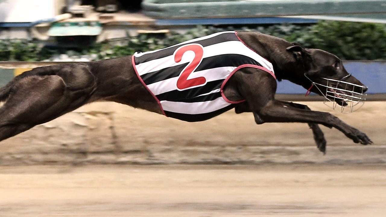 Speedster Lovely Stunner in full flight. Picture: justgreyhoundphotos.com.au