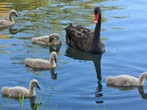 BRIGGSY'S BIRDS: Elegant swan graces lakes
