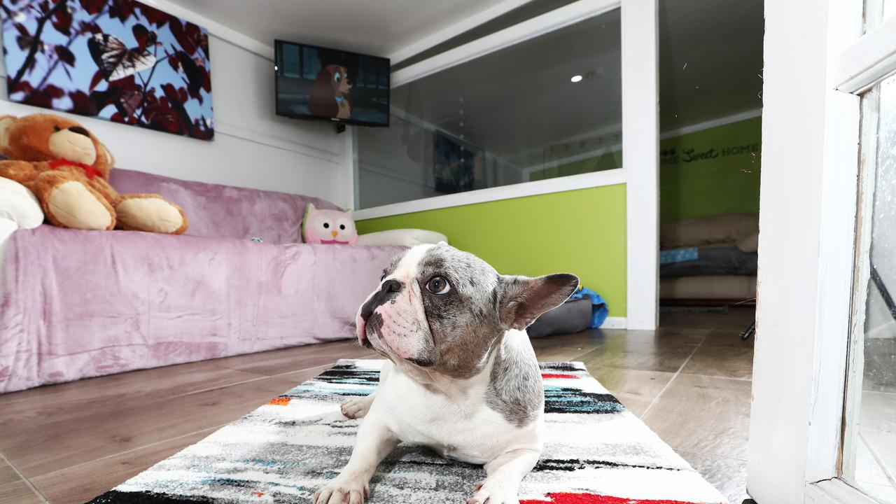 Romeo enjoying all the luxuries at AAA Pet Resort. Photograph: Jason O'Brien