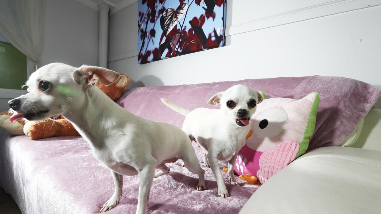 Chihuahua's Chiko and Nacho at AAA Pet Resort. Photograph : Jason O'Brien