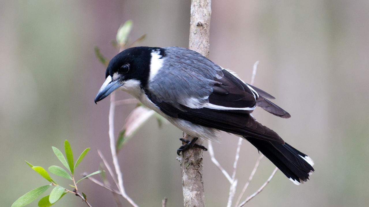 SENSELESS: A butcherbird was recently attacked in Brisbane.