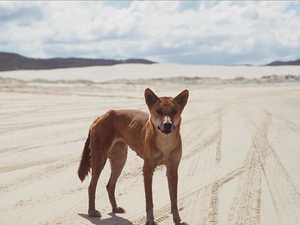 Dingo advocate: 'Time to rethink number of island visitors'