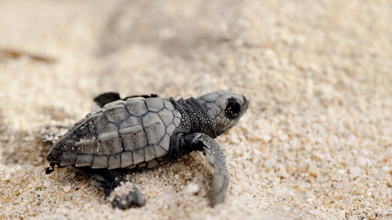 Sea turtles are thriving during the coronavirus crisis. Picture: iStock