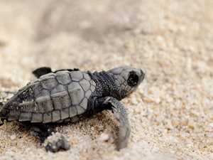 Sea turtles are thriving with tourists gone
