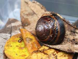 Why 163 critically endangered snails had to be moved