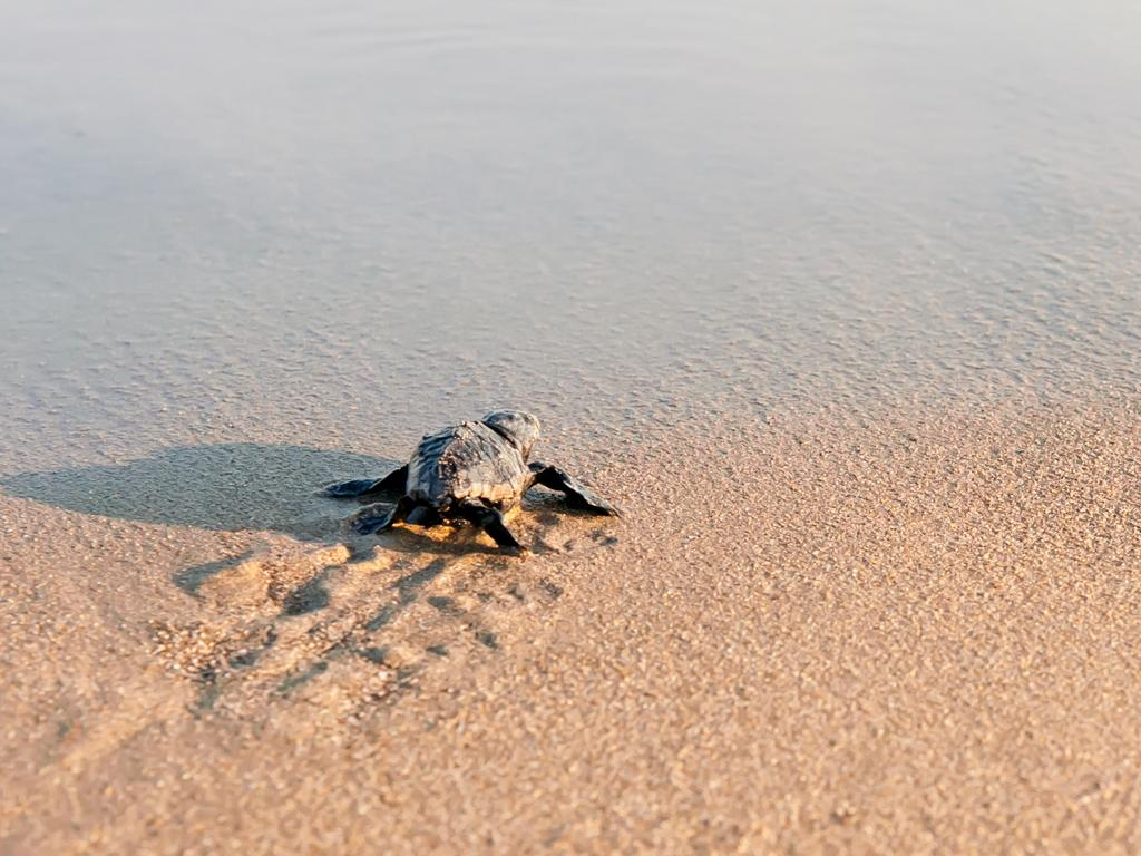 Coronavirus has allowed sea turtles to get their nesting habitats back in time for the northern spring.