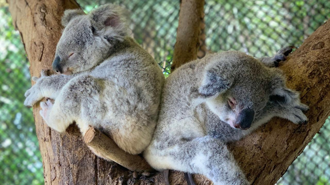 Young koalas found near Gargett and Coppabella ready for release into the bush after months of care. All koalas released are ear-tagged, microchipped and have their DNA recorded.
