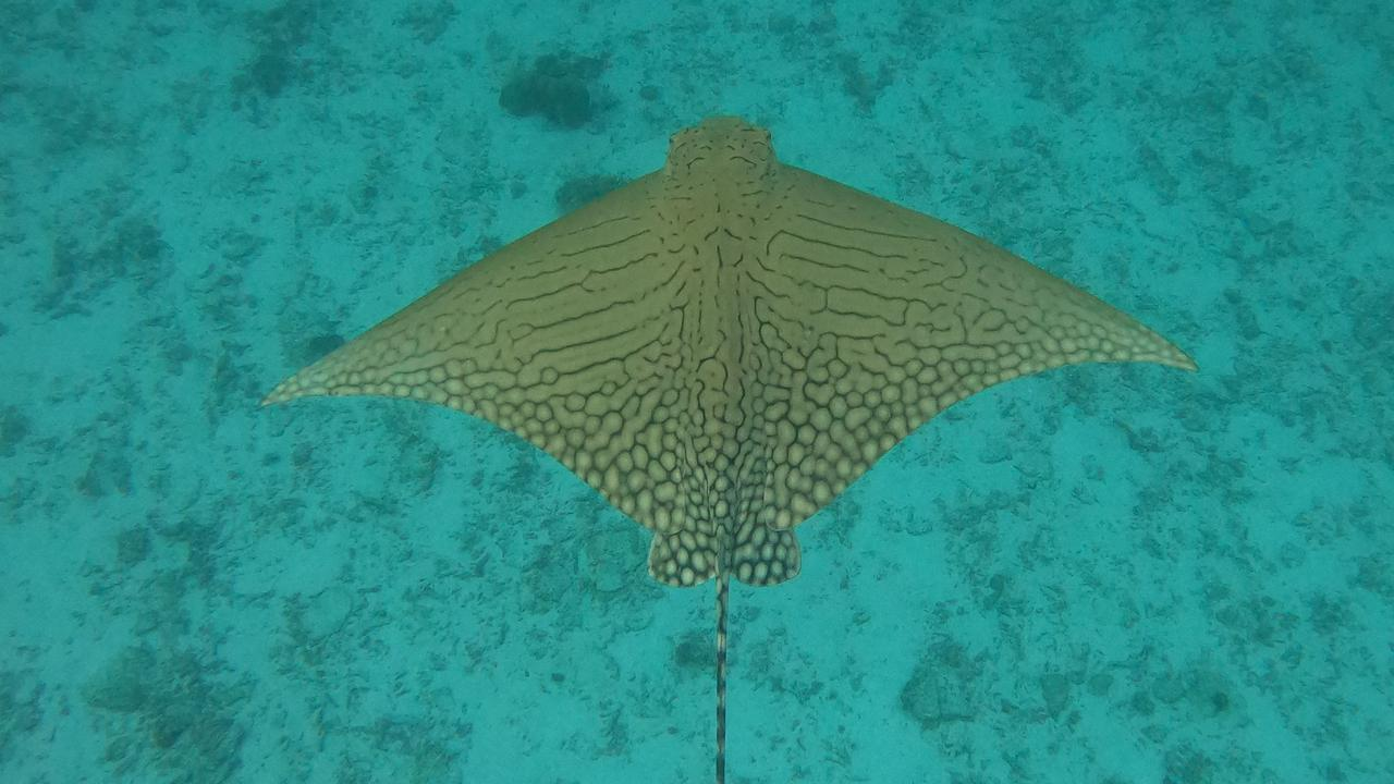 @jacintashackleton captured these images of the ornate eagle ray off the shores of Lady Elliot Island.