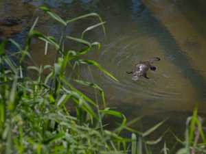 WATCH: Mackay's platypus come out to play
