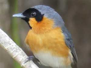 BRIGGSY'S BIRDS: All hail the spectacled monarch