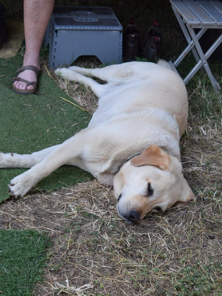 Marley the dog makes the best of being bunkered down in Biggenden.