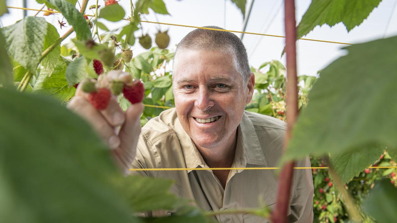 Pinata Farms managing director Gavin Scurr is concerned there could be a shortage of fruit pickers come the height of strawberry season. Picture: File